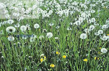 Dandelion flowers and seed heads in a lawn ,Taraxacum officinale, North America.