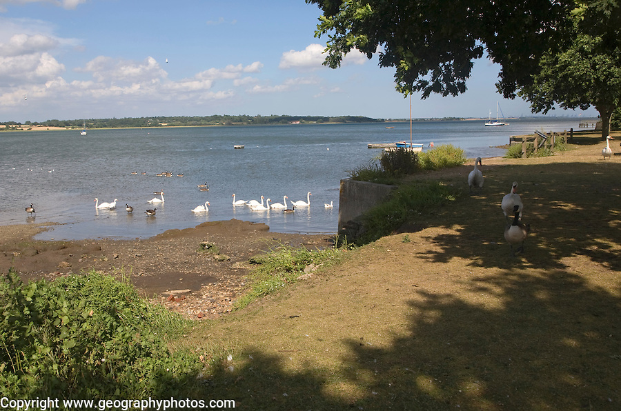 Swans on the River Stour at Mistley Walls, Essex, England