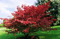 Flügel-Spindelstrauch, Spindelstrauch, Blätter in Herbstfärbung, Euonymus alatus, Winged Spindle