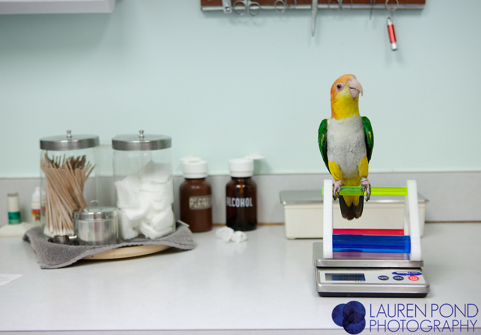 """Sam,"" an orange-headed Caique parrot belonging to Jonda Vance, of near Granville, Ohio, gets weighed on a scale in the exam room at the Avian Health Clinic, in Reynoldsburg, Ohio, on Oct. 27, 2012."