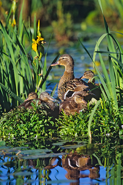 Mallard Duck family--hen with ducklings--resting on old log among yellow iris in Pacific NW pond.  June.