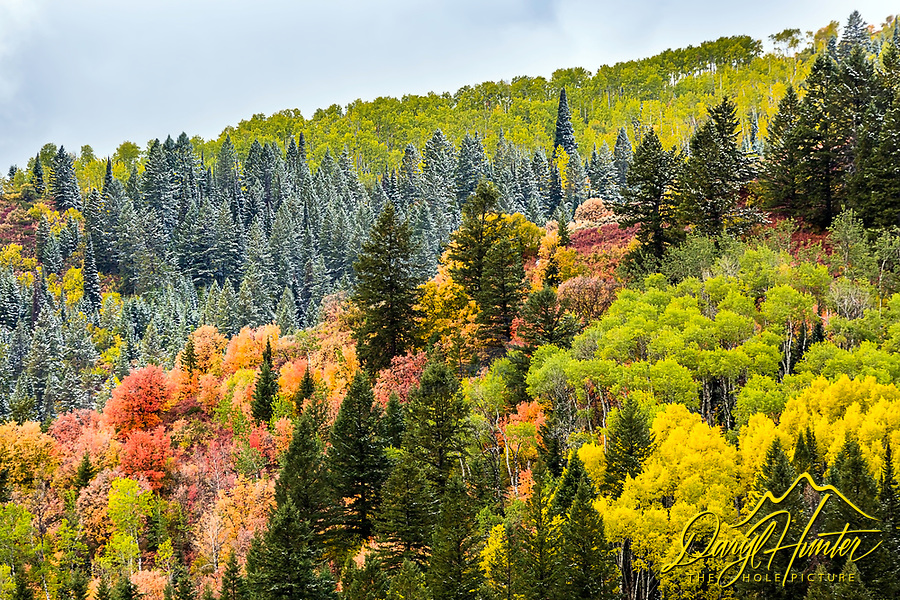 Autumn color in the Caribou Mountains of Eastern Idaho.  An interesting play of color, angles and patterns with this panapoly of yellow aspens, red mountain maple, green evergreens with a fresh dusting of snow.