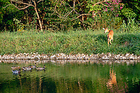 Fawn turns in surprise at mallard ducks swimming in lake