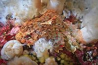 Red Irish Lord ( Hemilepidotus hemilepidotus ) underwater in the islands of Haida Gwaii, British Columbia, Canada.