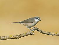Western Orphean Warbler - Sylvia hortensis
