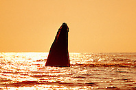 humpback whale spyhopping at sunset, Megaptera novaeangliae, Big Island, Hawaii, Pacific Ocean