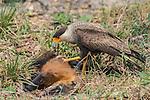 Southern Crested Caracara (Caracara plancus) feeding on Coati, Pantanal, Mato Grosso, Brazil