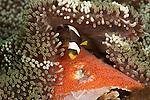 Saddleback anemonefish juvenile (Amphiprion polymnus) tending to freshly laid eggs