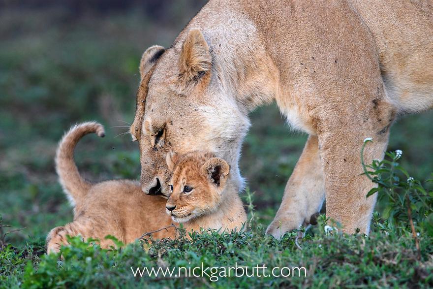 Female lion with cub (Panthera leo) (around 10 weeks old) - playing / grooming. Woodland on the border of Serengeti / Ngorongoro Conservation Area (NCA) near Ndutu, Tanzania.