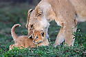 Female lion with cub (Panthera leo) (around 10 weeks old) - playing / grooming. Woodland on the border of Serengeti / Ngorongoro Conservation Area (NCA) near Ndutu, Tanzania.