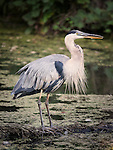 The Great Blue Heron is a large wading bird, common near the shores of open water and in wetlands over most of North and Central America. Primary food is small fish, crabs, aquatic insects, rodents and other small mammals, amphibians, reptiles, and small birds.