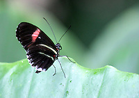 Stock photo: Black butterfly perched just on the edge of a big leaf, close up details.