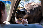 Olympic Game Farm with Yak sticking his head into car window gettting food