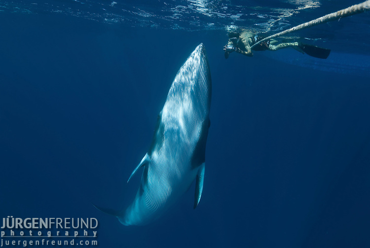 Dwarf minke whale makes close passes to snorkler on a minke line of the Undersea Explorer (Balaenoptera acutorostrata)