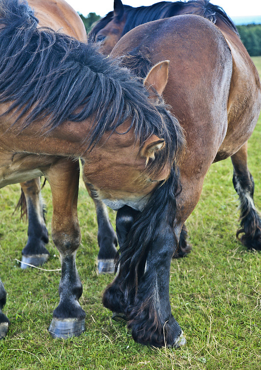 Horse giving a love bite to another, on the leg, Hagestad Nature Reserve, Sweden