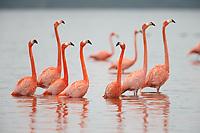 American Flamingos (Phoenicopterus ruber) . Celestun Biosphere Reserve, Mexico. February.