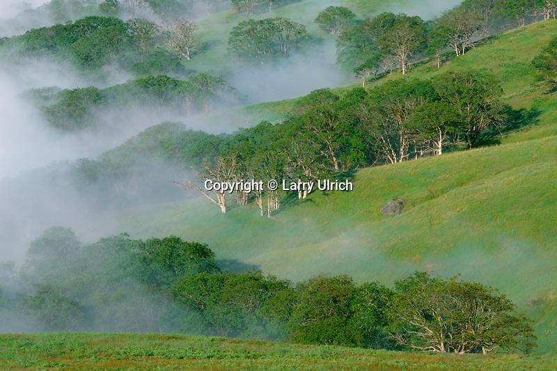 Oregon white oaks<br /> Schoolhouse Peak,  Bald Hills Road<br /> Redwood National Park<br /> Humboldt County,  California