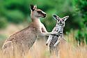 A female adult eastern gray kangaroo () caresses a joey, Wilson's Promontory National Park, Victoria, Australia