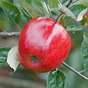 Apple 'Norfolk Royal', early September. An English dessert apple, discovered in 1908 on a nursery at North Walsham, Norfolk.