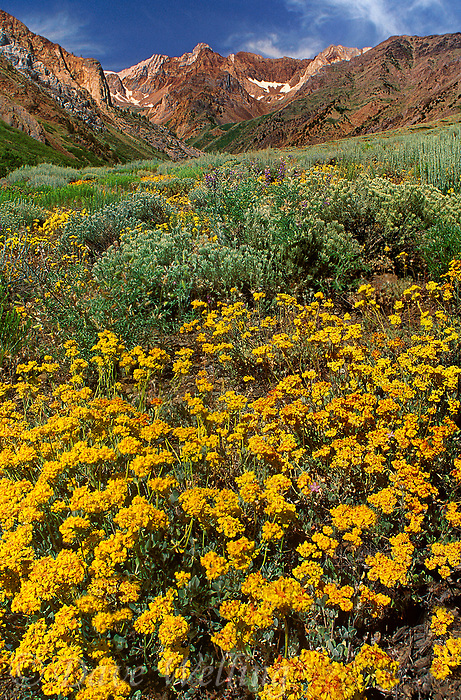 742900053 a profusion of wildflowers including sulphur buckwheat eriogonum ubmellatum below the eastern sierras on a sunny morning california