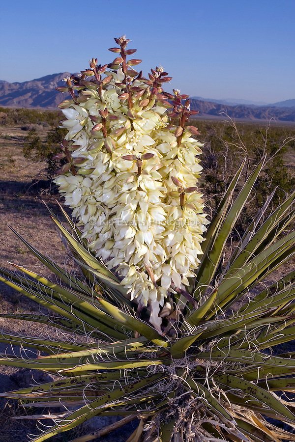 Mojave Yucca (Yucca schidigera) in Joshua Tree National Park, California. Flowers of the Yucca genus -- which includes the Joshua Tree (Yucca brevifolia) -- depend on the small, white Pronuba Moth for pollination. This moth, in addition to gathering pollen, actually deposits her eggs in the ovary of the yucca flowers. The Pronuba larvae feed on the developing fruit, but leave some seeds to mature (DesertUSA).