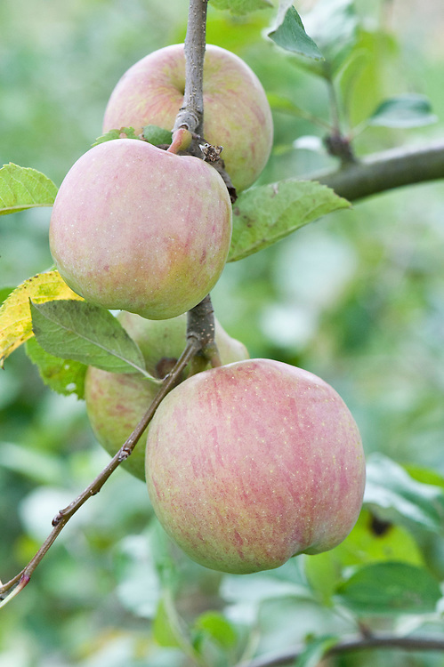 Apple 'Fuji', early September. Dessert apple originally from Japan, 1939. Cross between 'Janet' and 'Delicious'.