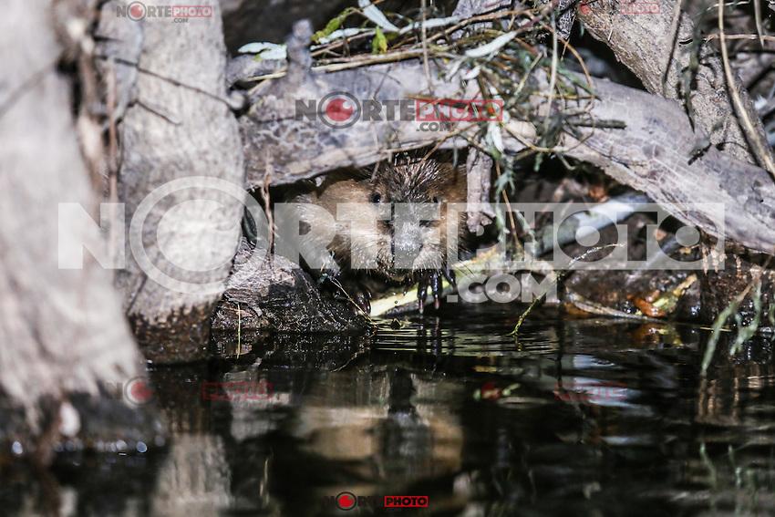 Canadian Beaver Dams Ecosystem in the Cuenca los  Ojos in SONORA MEXICO. *Photo:LuisGutierrez / NortePhoto.com<br /> he Cuenca Los Ojos Foundation works to preserve and restore the biodiversity of the borderland region between the United States and Mexico through land protection, habitat restoration and wildlife reintroduction<br /> <br /> Ecosistema de diques de Castor Canadiense en la Cuenca los Ojos.