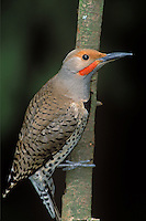 Red-shafted Flicker in Oregon