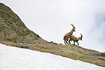 Alpine Ibex mating (Capra ibex), Alps, Italy