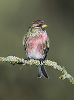 Lesser Redpoll Carduelis flammea. Confusingly, redpoll classification has changed in recent years. Formerly, both the Mealy Redpoll and the bird now referred to as Lesser Redpoll were treated as races of the Common Redpoll complex; now they are considered to be separate species.  But here they are treated as a single entry. The Mealy Redpoll Carduelis flammea is appreciably paler in all plumages than the Lesser Redpoll. Lessers are present here all year (although many migrate to mainland Europe in winter). Mealys are exclusively winter visitors, from N Europe.
