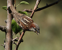 House Sparrows aren't related to other North American sparrows, and they're differently shaped. House Sparrows are chunkier, fuller in the chest, with a larger, rounded head, shorter tail, and stouter bill than most American sparrows.