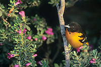 561920013 a wild adult male baltimore oriole icterus galbula perches on a flowering plant on south padre island in south texas