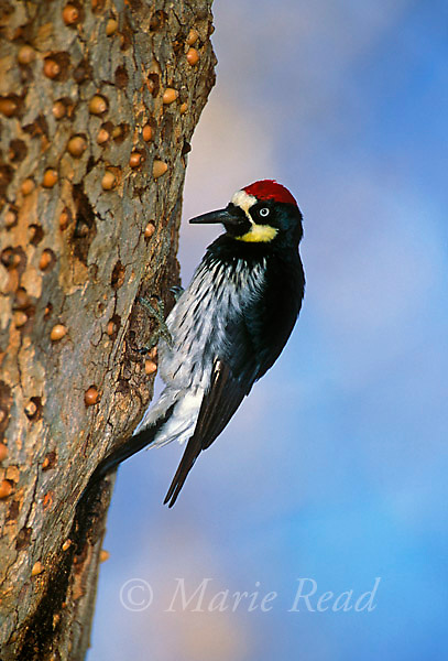 Acorn Woodpecker (Melanerpes formicivorus) male placing an acorn in hole in granary tree, Orange County California, USA<br />