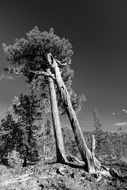 Ponderosa pine, Lava Cast Forest, Newberry National Monument