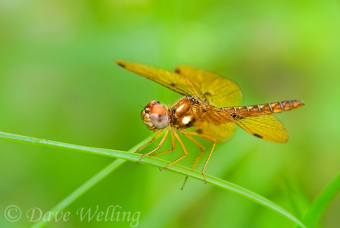 304560001 a wild adult male eastern amberwing perithemis tenera perches on a plant stem in the pine forest near jasper texas