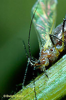 1A25-004z  Aphid - winged adult female sucking juices from plant