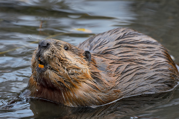 North American Beaver (Castor canadensis).  British Columbia, Canada.  Fall.