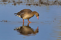 537260014 a wild  greater white-fronted goose anser albifrons at colusa national wildlife refuge califonia