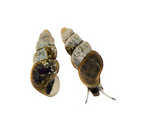 Hydrobia neglecta