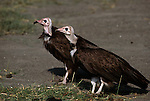 Pair of Hooded Vultures standing together.