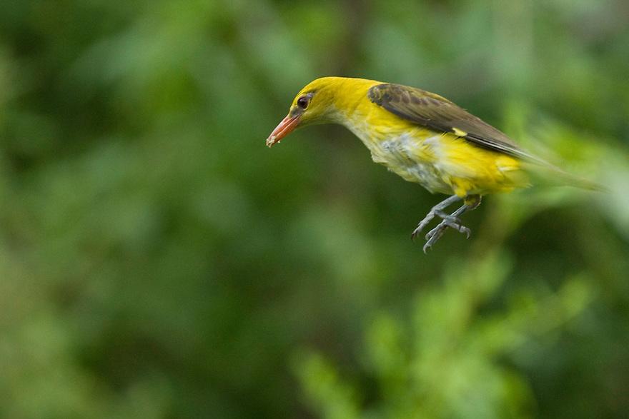 Golden oriole female (Oriolus oriolus), in flight to her nest, Pirol Weibchen fliegt zum Nest, near Nikopol, Bulgaria
