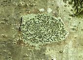 Script Lichen - Graphis scripta