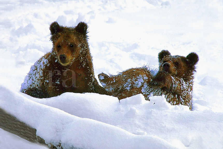 Bears playing in the snow