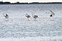 Whooping cranes off the Texas coast