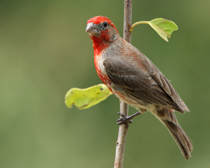 The male House Finch presents a cheerful red head and breast, and has a long, twittering song.