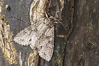 Waldstauden-Blättereule, Reseda-Garteneule, Waldstaudenblättereule, Resedagarteneule, Polia nebulosa, Phalaena nebulosa, Grey Arches, Gray Arches. Eulenfalter, Noctuidae, noctuid moths, noctuid moth