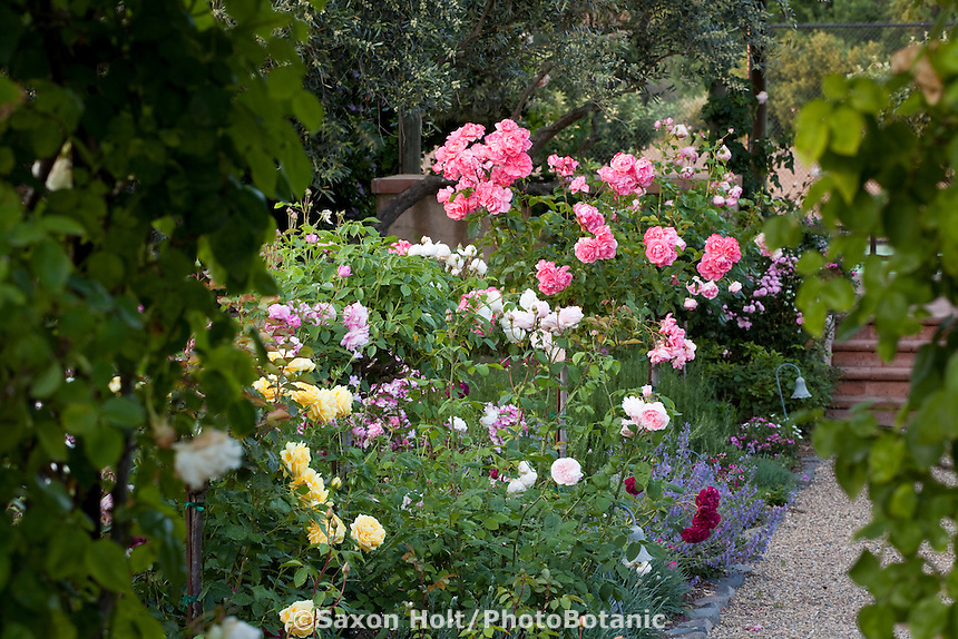 Secret garden mixed border of yellow white and pink roses (Guy de Maupassant) with Nepeta seen though arch trellis in California country garden