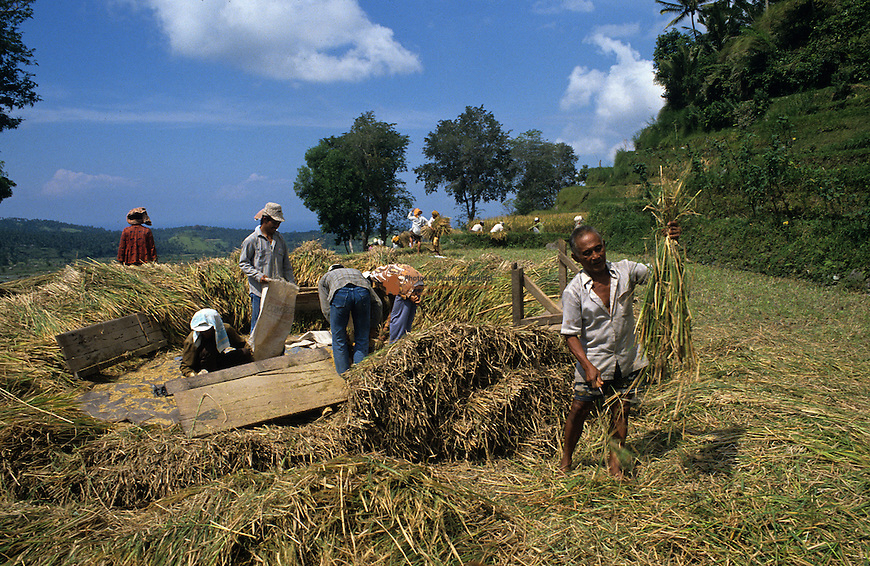 Farmer harvestin rice for processing