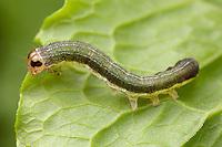 Norman's Quaker Moth (Crocigrapha normani) caterpillar (larva) feeding on a leaf, West Harrison, Westchester County, New York.
