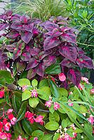 Perilla Magillanica purple foliage with Impatiens and angelwing begonias
